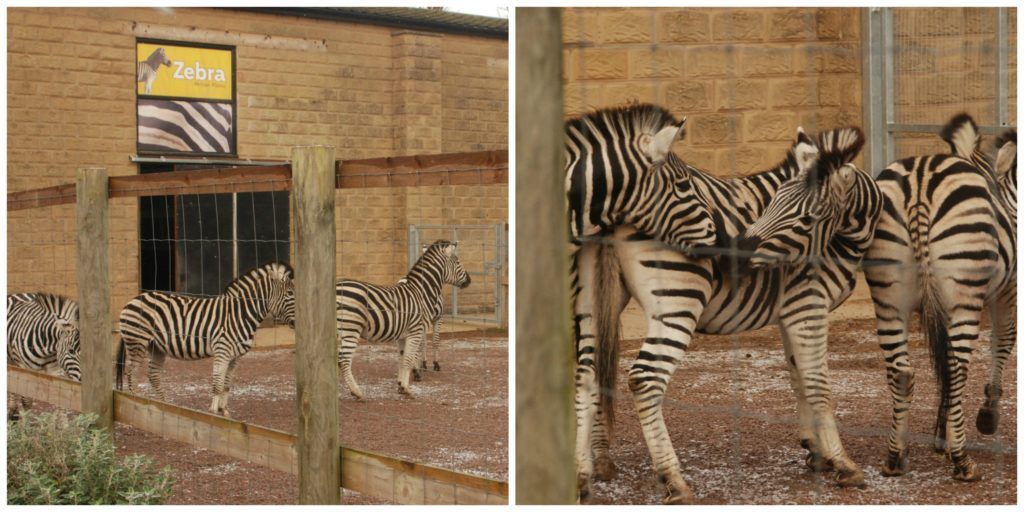 Zebra Twycross zoo